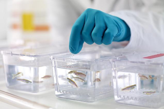 zebrafish-replicates